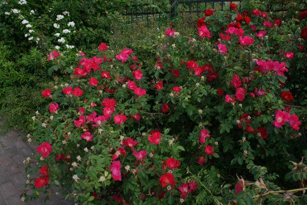 rosa gallica scharlachglut gallicarose rosenschule ruf. Black Bedroom Furniture Sets. Home Design Ideas