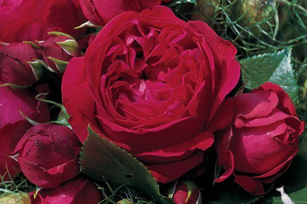 red eden rose r rosenschule ruf. Black Bedroom Furniture Sets. Home Design Ideas
