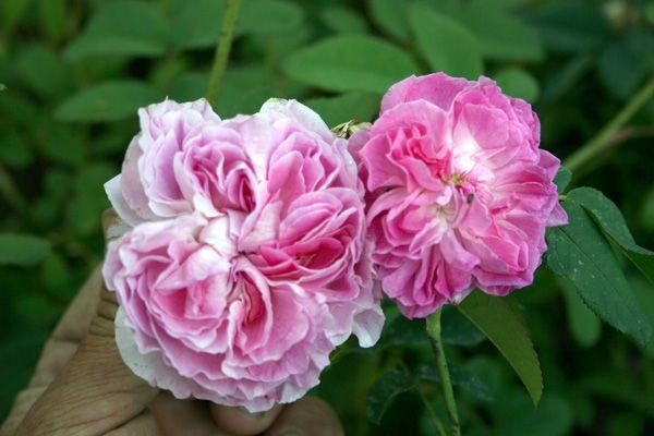 pink damask damaszenerrose rosenschule ruf. Black Bedroom Furniture Sets. Home Design Ideas