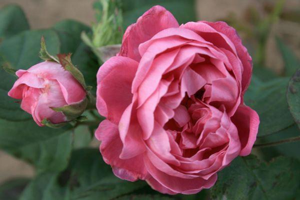 rose de alhambra damaszenerrose rosenschule ruf. Black Bedroom Furniture Sets. Home Design Ideas