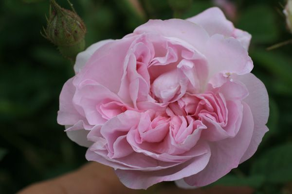 blush damask damaszenerrose rosenschule ruf. Black Bedroom Furniture Sets. Home Design Ideas