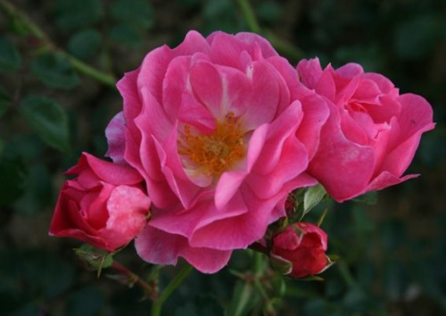 Rosa 'Magic Meidiland'