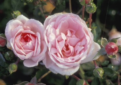 Rosa 'Lovely Meidiland'