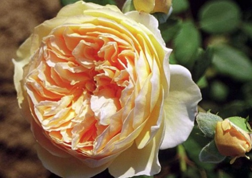 CROWN PRINCESS MARGARETA  -R-