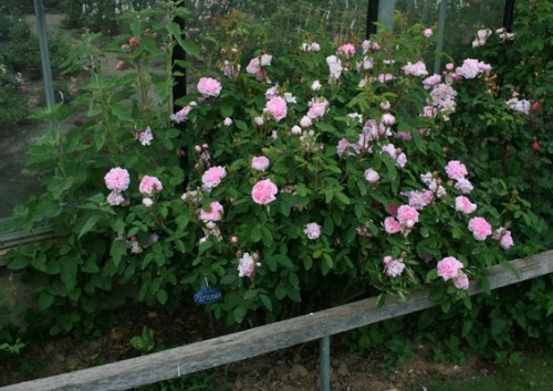 Rosa damascena 'Miranda'