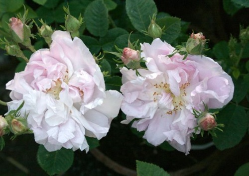 Rosa damascena 'Celsiana'