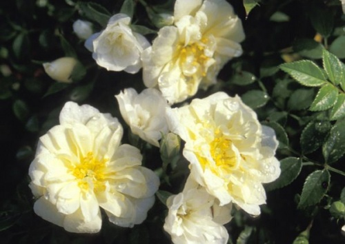 Rosa 'Yellow Carpet'