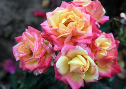 Rosa 'Little Sunset'